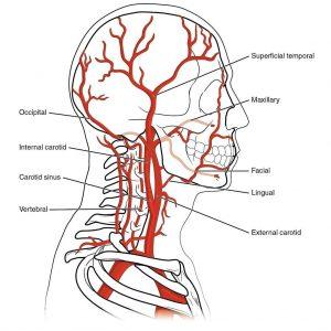 תיאור צינוריות דם והסבר באזור הראש והצוואר