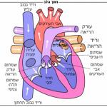 Diagram_of_the_human_heart_he